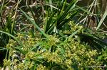 シュロガヤツリ:檜尾;クリックすると大きな写真になります。