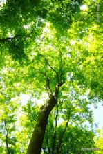 タカオカエデの新緑;クリックすると大きな写真になります。