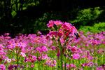 クリンソウ:高山植物園;クリックすると大きな写真になります。