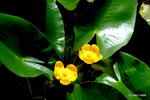 コウホネ:高山植物園;クリックすると大きな写真になります。