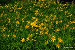 ニッコウキスゲ:高山植物園;クリックすると大きな写真になります。