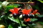 1オクナ・セルラタ(ミッキーマウスの木):温室;クリックすると大きな写真になります。