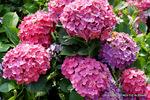 赤紫のアナベル:松尾寺公園;クリックすると大きな写真になります。