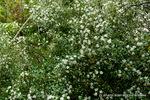 サクランボ(桜桃):松尾寺地区;クリックすると大きな写真になります。