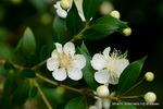 サクランボ(桜桃)の花:松尾寺地区;クリックすると大きな写真になります。