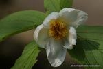 沙羅双樹(実はナツツバキ?)の花;クリックすると大きな写真になります。
