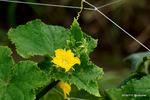 キュウリの花:野々井;クリックすると大きな写真になります。