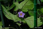 ナスの花:檜尾;クリックすると大きな写真になります。