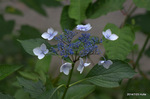 小屋の横に咲く紫陽花;クリックすると大きな写真になります。
