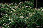 ネムノキの花;クリックすると大きな写真になります。