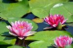 ハスの花:荒池;クリックすると大きな写真になります。
