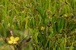 ヒレタゴボウ:野々井;クリックすると大きな写真になります。