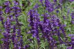 サルビア:花の文化園;クリックすると大きな写真になります。