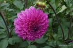 ダリア:花の文化園;クリックすると大きな写真になります。