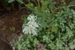 初雪草:花の文化園;クリックすると大きな写真になります。