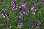 サルビア・レウカンサ:花の文化園;クリックすると大きな写真になります。