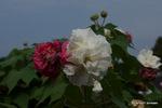 酔芙蓉:花の文化園;クリックすると大きな写真になります。