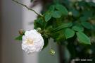 アーチのピンクバラ