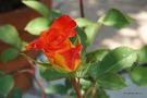 鉢植えバラ;クリックすると大きな写真になります。