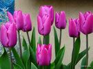 鉢植チューリップ;クリックすると大きな写真になります。