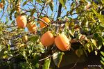 農家の柿:野々井;クリックすると大きな写真になります。