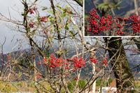 ニワトコ:蒜山;クリックすると大きな写真になります。
