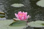 蓮の花;クリックすると大きな写真になります