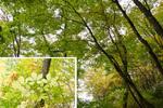 広葉樹の黄葉:但馬高原植物園;クリックすると大きな写真になります。