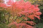 園内楓の紅葉