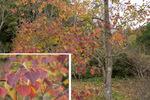 ナンキンハゼの紅葉;クリックすると大きな写真になります。