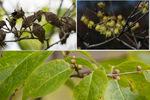 蝋梅の実・花・花芽;クリックすると大きな写真になります。