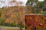 カイノキの紅葉;クリックすると大きな写真になります。