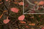 マンサクの冬芽;クリックすると大きな写真になります。