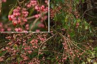 ツリバナ:蒜山;クリックすると大きな写真になります。