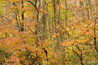 桝水ガ原の黄葉;クリックすると大きな写真になります。