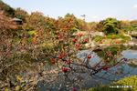 ウメモドキ:大仙公園日本庭園;クリックすると大きな写真になります。