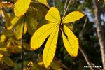 トチノキの黄葉;クリックすると大きな写真になります。