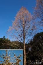 メタセコイア:鴨谷公園;クリックすると大きな写真になります。