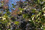 トウネズミモチの実:大森;クリックすると大きな写真になります。