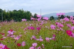 コスモス:リサイクル環境公園;クリックすると大きな写真になります。