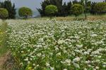 蕎麦の花;クリックすると大きな写真になります