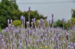 四季咲きラベンダー;クリックすると大きな写真になります