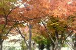 カナリヤ公園の紅葉:桃山台;クリックすると大きな写真になります