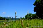 ヘラオオバコが咲く賀茂川堤;クリックすると大きな写真になります。