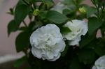ペチュニア八重:鉢植え;クリックすると大きな写真になります