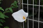 垣根のそばで咲くカラー;クリックすると大きな写真になります