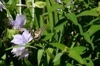 クレマチスにアゲハチョウ;クリックすると大きな写真になります