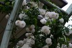 ローズアーチ白のバラ;クリックすると大きな写真になります