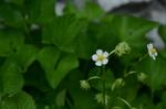 イチゴの花:地植え;クリックすると大きな写真になります