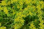モリムラマンネングサ:鉢植え;クリックすると大きな写真になります